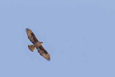 Bonelli's Eagle - Pench National Park, Madhya Pradesh, India