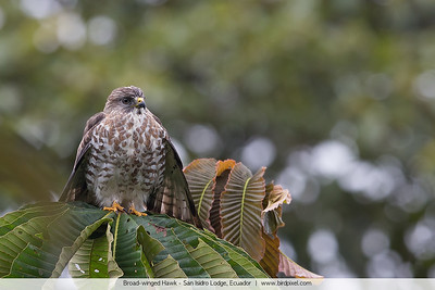 Broad-winged Hawk - San Isidro Lodge, Ecuador