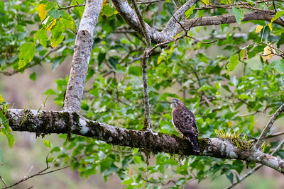 Broad-winged Hawk - Cartago, Costa Rica