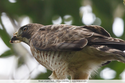 Broad-winged Hawk - Minca, Colombia