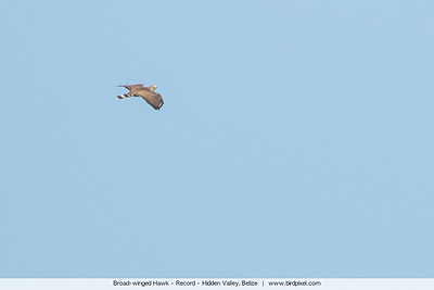 Broad-winged Hawk - Record - Hidden Valley, Belize