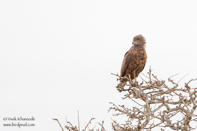 Brown Snake-Eagle - Tarangire National Park, Tanzania