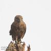 Brown Snake Eagle - Ngorongoro Crater, Tanzania
