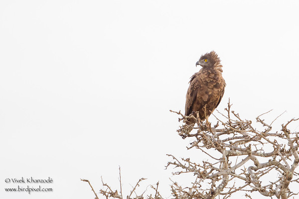 Brown Snake-Eagle - Tarangire National Park, Tanzania