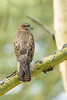 Common Buzzard - Lake Nakuru National Park, Kenya