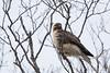 Common Buzzrd - Record - Hokkaido, Japan
