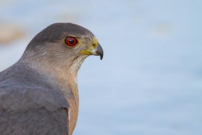 Cooper's Hawk - Tucson, AZ, USA