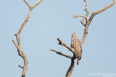 Crested Hawk-Eagle - Maharashtra, India