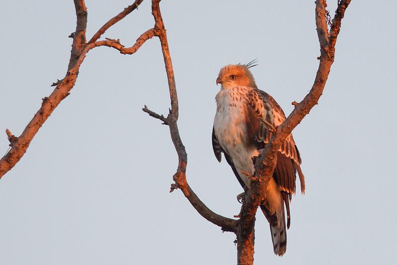Crested Hawk-Eagle - Pench National Park, Madhya Pradesh, India