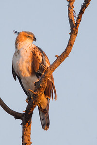Crested Hawk-Eagle - Pench National Park, Madhya Pradesh, India