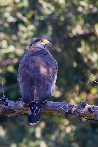 Crested Serpent Eagle - Pench National Park, Madhya Pradesh, India