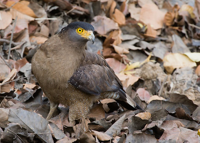 Crested Serpent Eagle - Madhya Pradesh, India