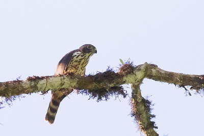 Double-toothed Kite - Juvenile - Record - Osa, Costa Rica