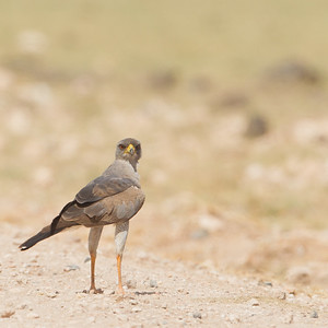 Eastern Chanting Goshawk - Amboseli National Park, Kenya