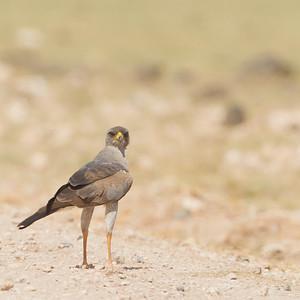 Eastern Chanting Goshawk - Amboseli National Park, Kenya