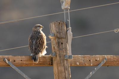 Ferruginous Hawk - Panoche Valley, CA, USA