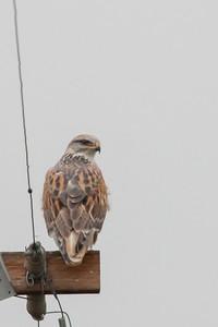Ferruginous Hawk (Record) - San Jose, CA, USA