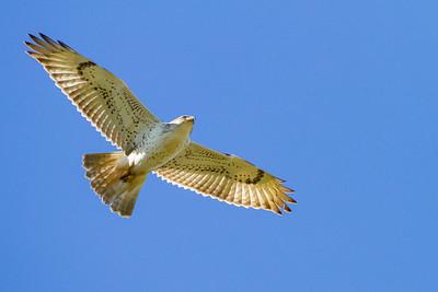 Ferruginous Hawk - Milpitas, CA, USA