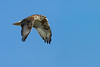 Ferruginous Hawk - San Jose, CA, USA