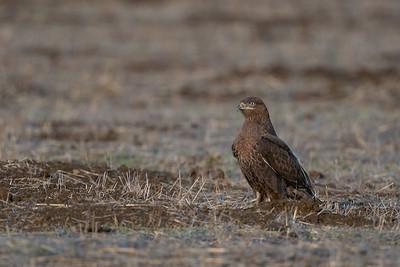 Ferruginous Hawk - Hollister, CA, USA