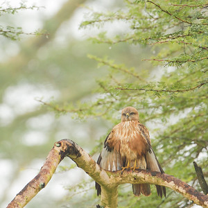 Fox Kestrel - Lake Nakuru National Park, Kenya