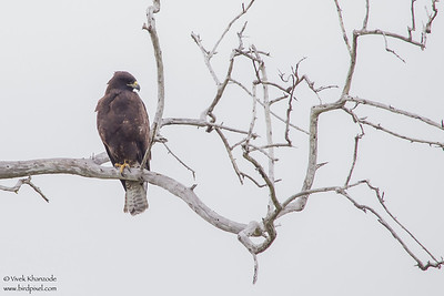 Galapagos Hawk - Elizabeth Bay, Isla Isabela, Galapagos, Ecuador