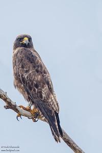Galapagos Hawk - Punta Espinosa, Isla Fernandina, Galapagos, Ecuador