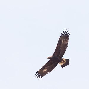 Golden Eagle - San Benito County, CA, USA
