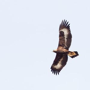 Ferruginous Hawk - San Benito County, CA, USA