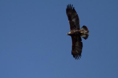 Golden Eagle - Soaring - Panoche Valley, CA, USA
