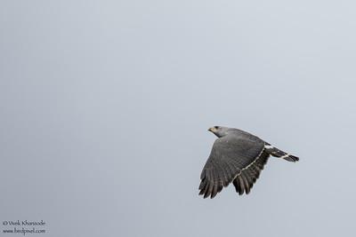 Gray Hawk - Record - Chiquibul National Park & Reserve, Belize