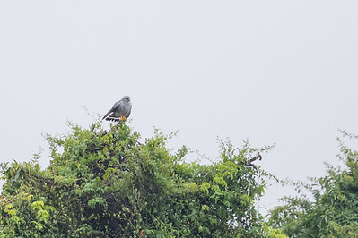 Gray Hawk - Record - Crooked Tree, Belize