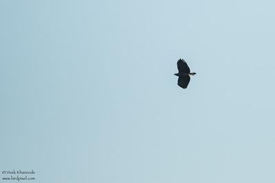 Great Black-Hawk - Record - Hidden Valley, Belize