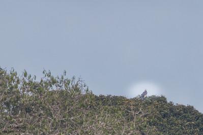 Harpy Eagle - Amazon, Ecuador
