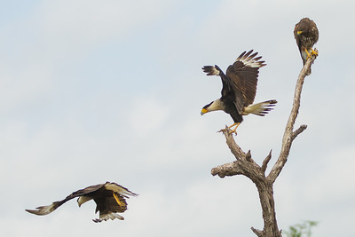 Harris' Hawk and Crested Caracaras - Martin Refuge, Mission, TX, USA