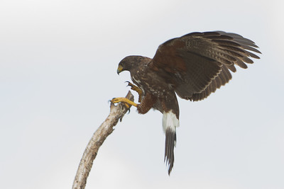 Harris' Hawk - Martin Refuge, Mission, TX, USA
