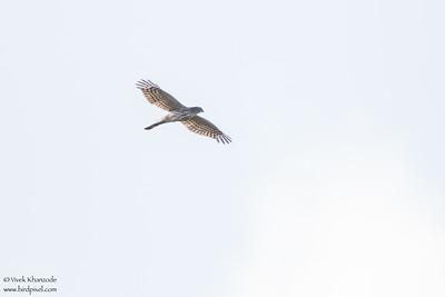 Hook-billed Kite - Hidden Valley, Belize