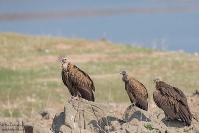 Slender-billed and Indian Vultures - Critically Endangered - Pench National Park, India