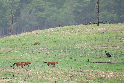 Indian Wild Dogs and Indian Vulture - Pench National Park, India