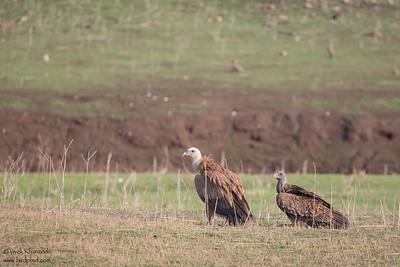 Indian Vulture & Slender-billed Vulture - Pench National Park, India