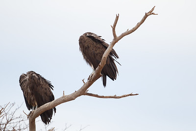Lappet-faced Vulture - Tarangire National Park, Tanzania