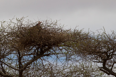 Lappet-faced Vulture on nest - Tarangire National Park, Tanzania