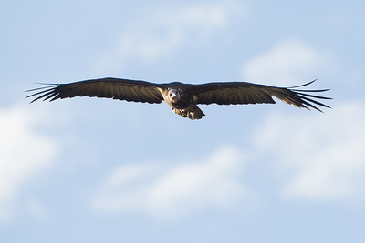 Lappet-faced Vulture - Serengeti National Park, Tanzania