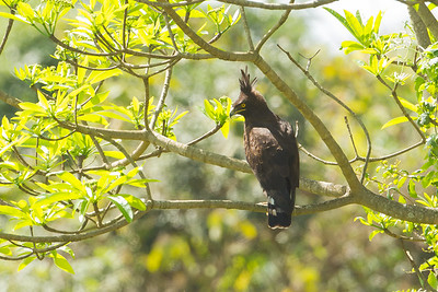 Long-crested Eagle, Arusha National Park, Tanzania