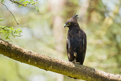 Long-crested Eagle - Lake Nakuru National Park, Kenya