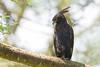 Long-crested Eagle - Lake Nakuru National Park, Kenya
