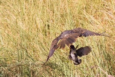 Marsh Harrier - Aswan, Egypt