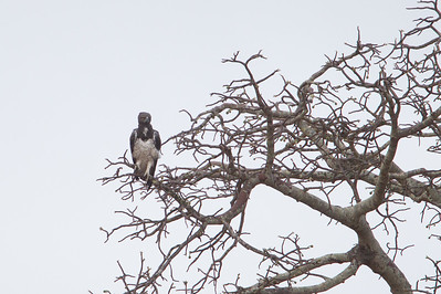 Martial Eagle - Record - Tarangire National Park, Tanzania