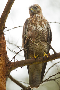Mountain Buzzard - Lake Nakuru National Park, Kenya