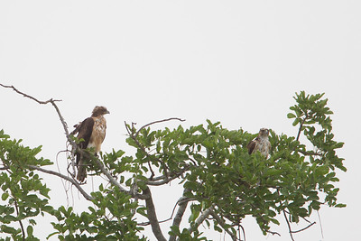 Mountain Buzzard - Record - Tarangire National Park, Tanzania